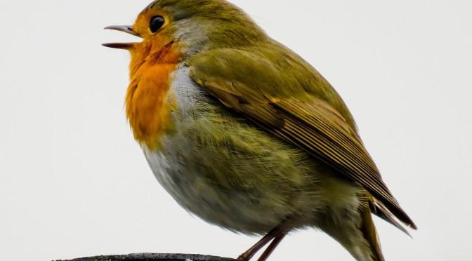 Uccello_canterino